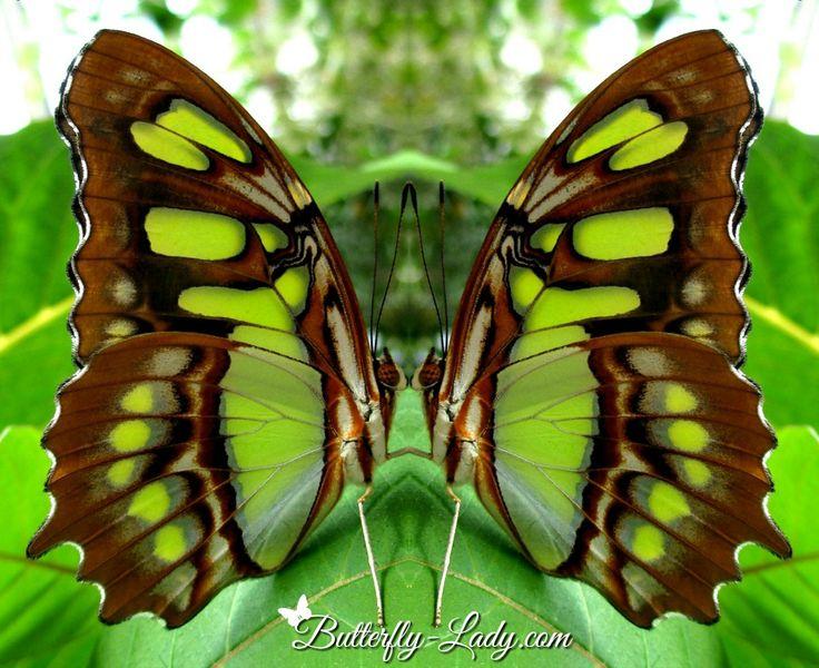 271 Best Images About Stunning Butterflies On Pinterest
