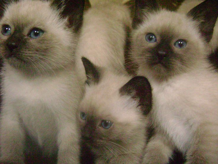 Chocolate Point Siamese Cats I love kittens! More pics like this on the website. Click the link