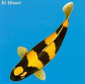 Image result for koi utsuri