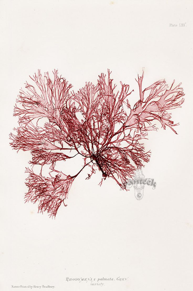 Rhodymenia from Henry Bradbury Original Nature-Printed Seaweeds 1859