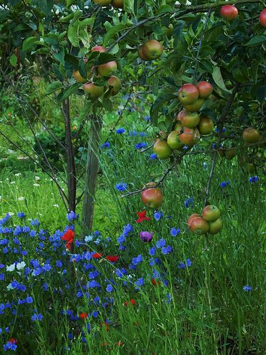 outdoorsanctuaries: 068 Allotment apple tree. (by moira1954) http://www.greenhousestores.co.uk/Elite-Greenhouses/