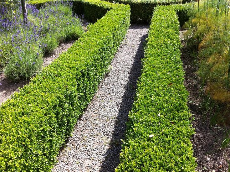 buxus sempervirens - boxwood hedges along stone walls near outdoor kitchen
