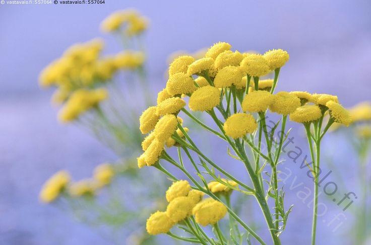 Pietaryrtti - pietaryrtti Tanacetum vulgare kukkii kukassa keltainen kukka…