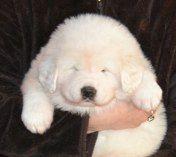 "4 week old baby ""Snow Lion""   White Tibetan Mastiff"
