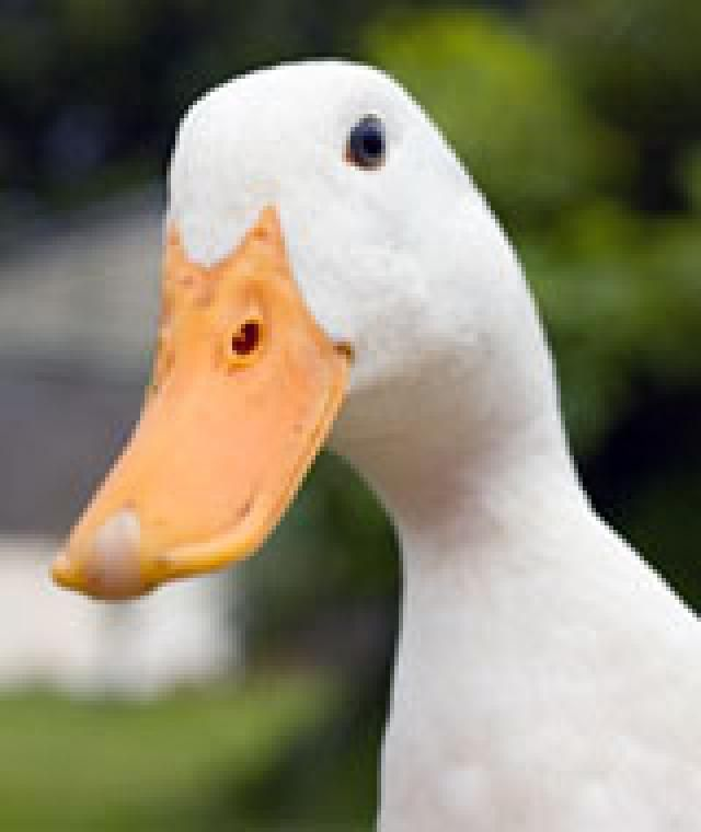 Should You Buy Supplemental Health Insurance?: Supplemental Insurance Be on the lookout for the duck!