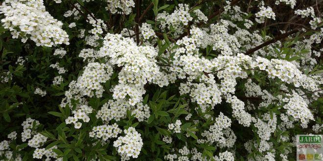 Dès la fin de la floraison, il est utile de tailler la Spirée de Thunberg (spirée de printemps). Pourquoi et comment faire ? http://www.jardipartage.fr/taille-spiree/