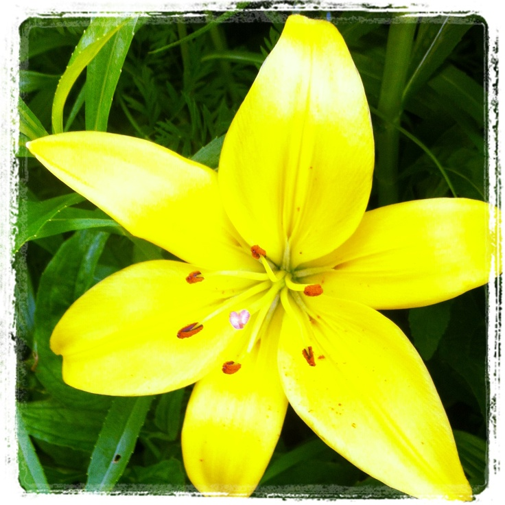 lemon colored lillies