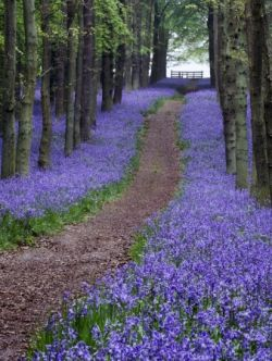 The native English bluebell flowers in spring time only and covers woodlands with a haze of purpley blue. There is something ethereal and luminescent...