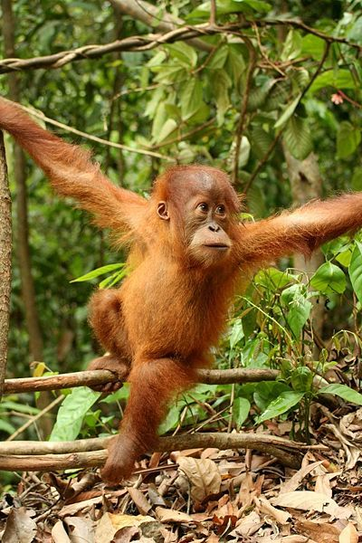 """Orangutan in the rainforest. See Over 2000 more animal pictures on my Facebook """"Animals Are Awesome"""" page. animals wildlife pictures nature fish birds photography"""