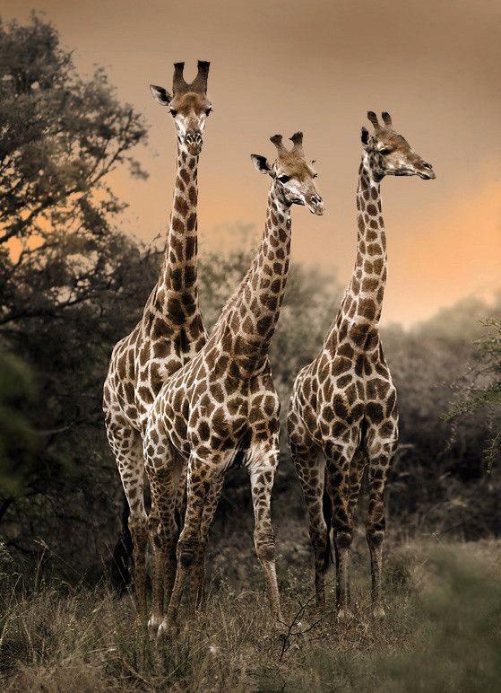 Giraffe (via 500px / Dikhololo boys by George Veltchev)