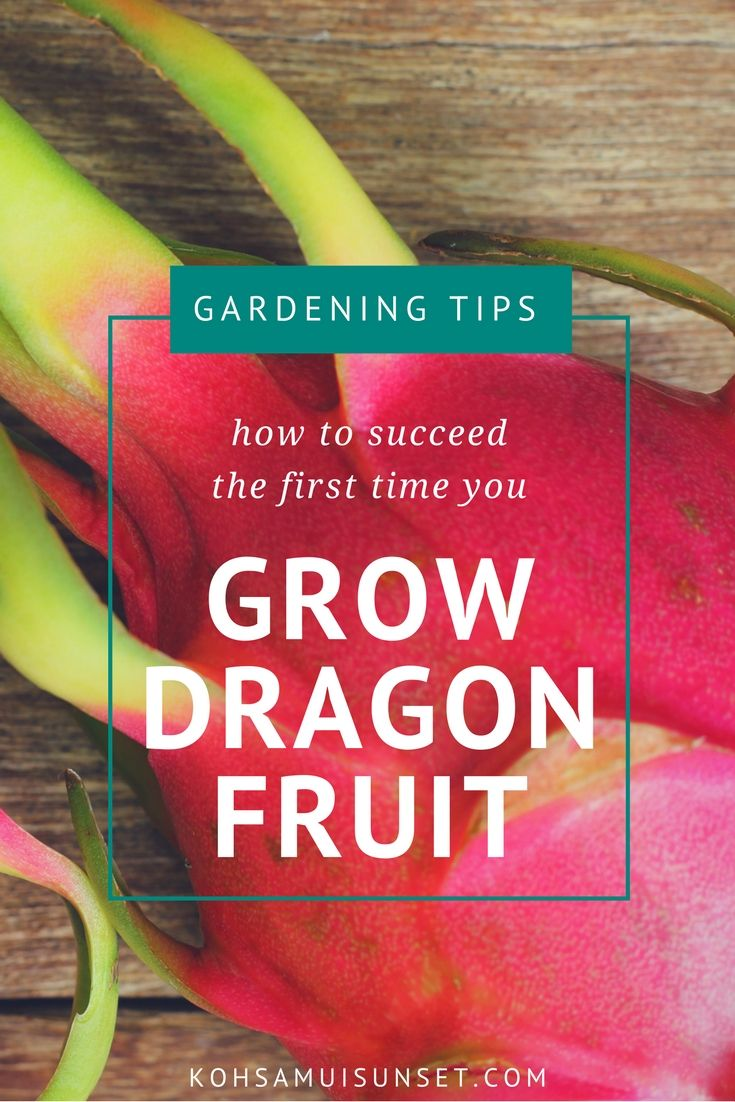 Dragon fruit comes in three colors white pink and red or magenta white - Growing Dragon Fruit How To Grow Dragon Fruit From Seed