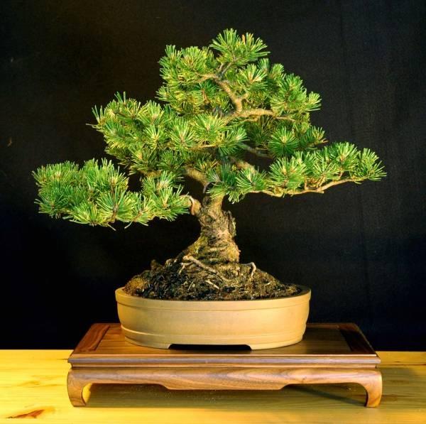 11 best bonsai mugo pine images on pinterest bonsai. Black Bedroom Furniture Sets. Home Design Ideas