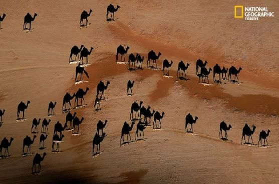 Stunning. Photograph shows overhead view of shadows cast by camels in the desert.