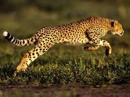 de cheetah is een heel snel dier hij kan wel snelheden van 120 kilometer per uur bereiken. hij wordt ongeveer 10 tot 12 jaar oud. en hij kan ongeveer 35 tot 60 kilo worden.