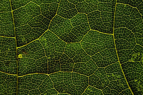 Life grid in a leaf. An abstract macro photo of a beautiful leaf texture.  Photo by Cristina Velina