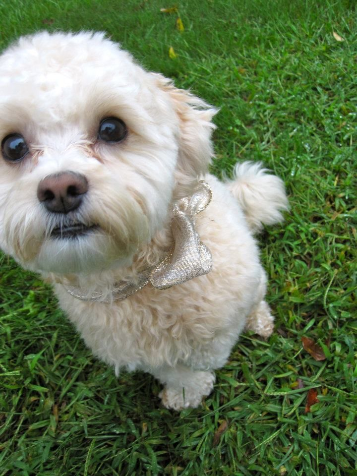 how long do shih tzu dogs live 17 images about shih poo on pinterest pets shih poo 5869