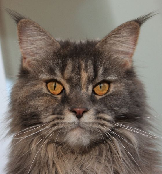 Cat breed Maine Coon named Styui living with their masters in the city ...