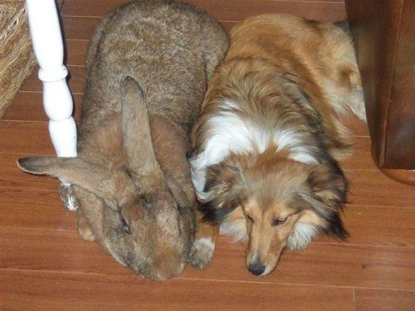 Фландр - гигантский кролик