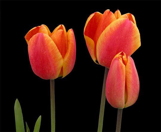 Tulip n el tulip n es una planta originaria de turqu a muy for Ornamentacion de jardines
