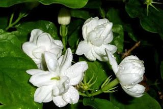Bunga Melati #flower #bunga #kesehatan #health #kecantikan #beauty #herbal