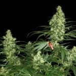 Landrace Marijuana Strains: Growing a Pure Sativa