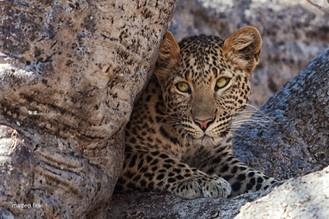 Cucciolo di Leopardo - Tanzania