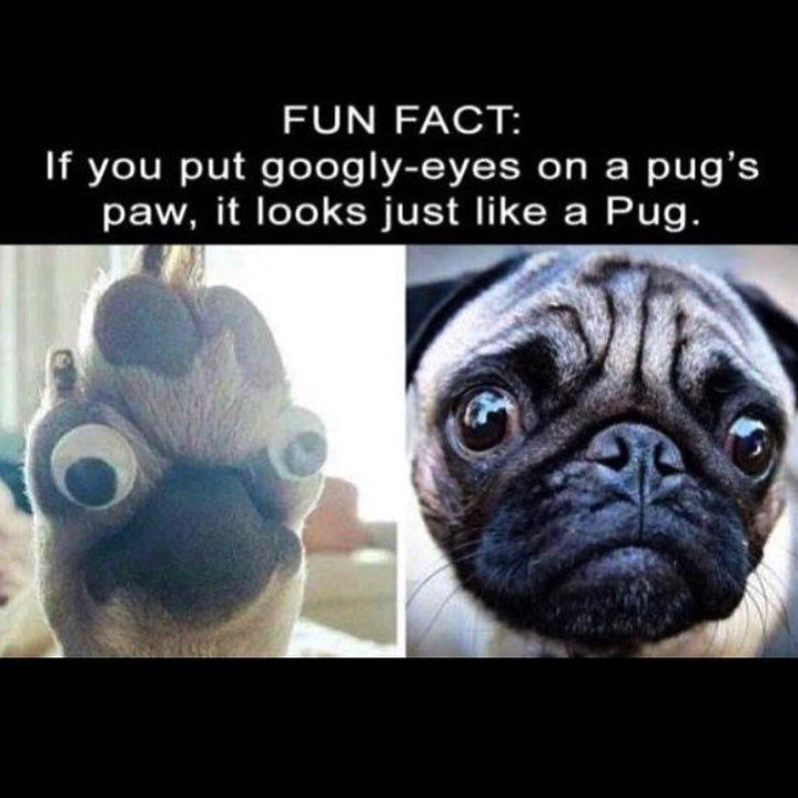 Googley All Around Your Online Source For Everything Pugs