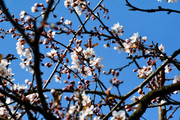 Cherry Blossoms - Cherry blossoms - March Equinox in Como, Italy.