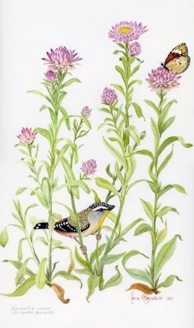 Bracteautha viscosa 1438