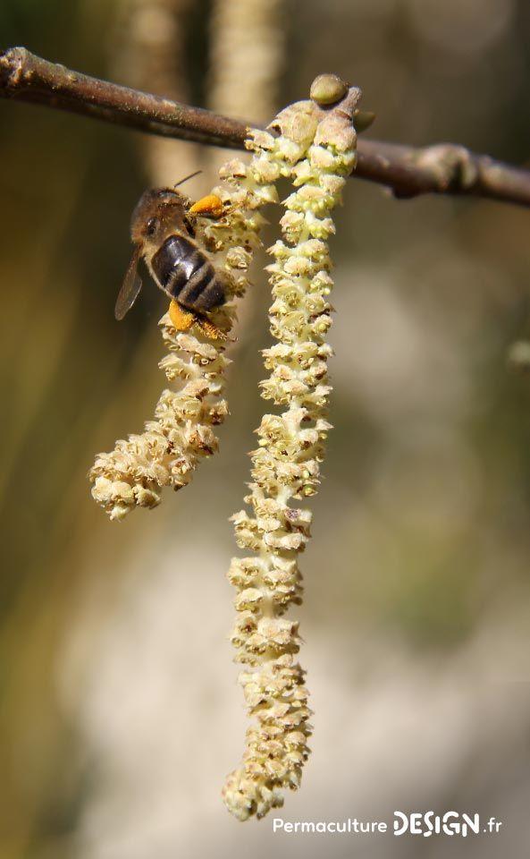 Abeille noire sur un chaton de noisetier à la sortie de l'hiver. Photo ©️Pierre Javaudin  Pour lire l'article complet : http://www.permaculturedesign.fr/pourquoi-reintroduire-abeille-noire-apiculture-naturelle-ruche  #PermacultureDesign #Permaculture #AbeilleNoire #ApicultureNaturelle #PierreJavaudin #SauvegardezLesAbeilles #PlantezVotreAbondance #HaieDesAbeilles #Guilde #AccueillezLesPollinisateurs #Abeilles #InsectesPollinisateurs #RefugeDeBiodiversite #FaireSoiMeme