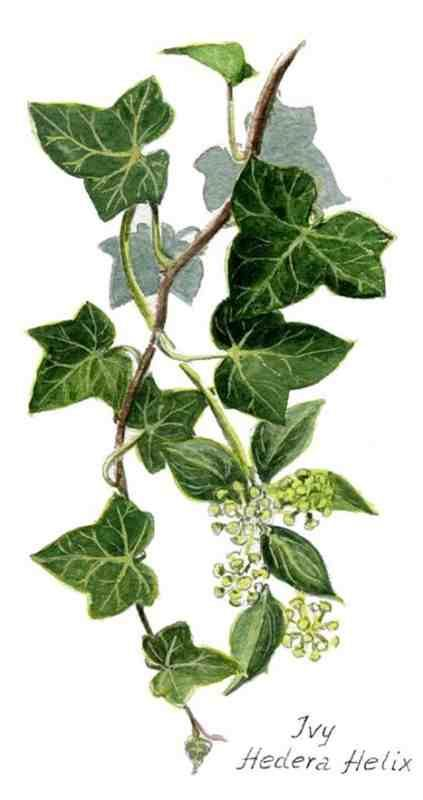 christmas ivy - Google Search