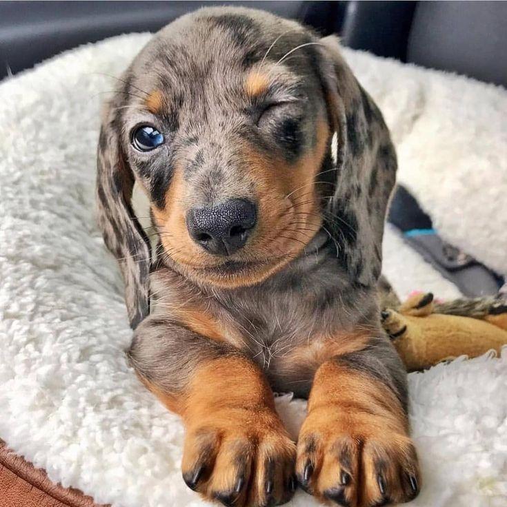 Dachshund Puppies For Sale Dachshund Puppies Dackel Welpen Zu