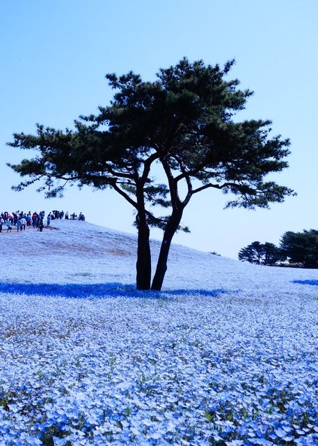 Share from UPLO: Standing In The Blue World 2014 by ©Stone River #flower #macro #blue #nemophila #nature #landscape #japan