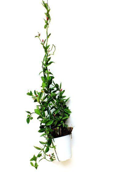Zimmerpflanzen für dunkle Räume: Efeu