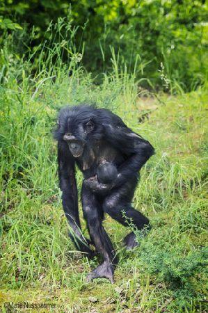 Un 5ème bébé bonobo à la Vallée des Singes