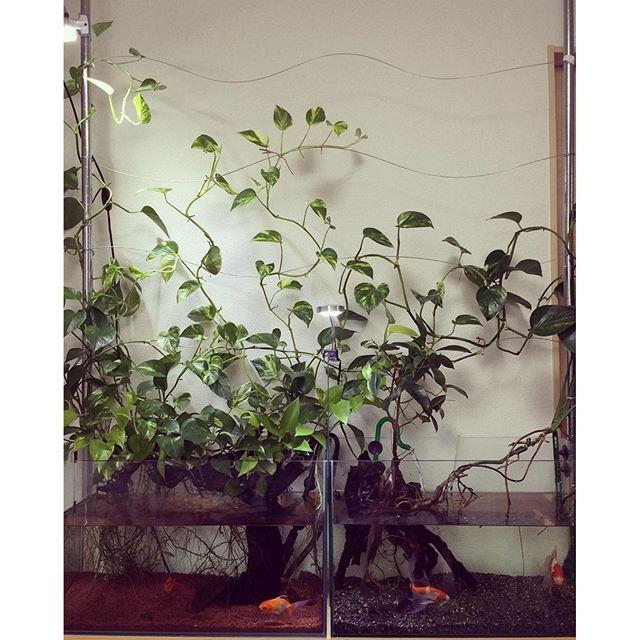 【indoorfish】さんのInstagramをピンしています。 《これから水換え🐟  #aquarium #goldfish #terrarium  #アクアリウム #金魚 #plantstagram #plants #leaf》