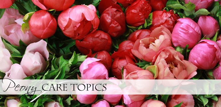 Peony Care Information Peony care: so much useful, detailed information, better than any book I've read about peonies