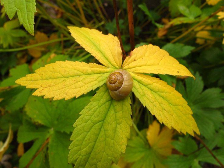 Quintifolia and Helix