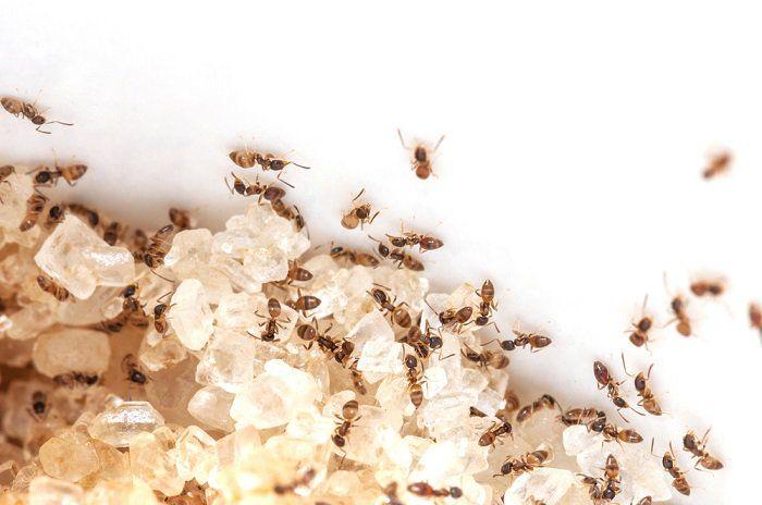 Las hormigas de azúcar aman invadir los hogares donde buscan alimentos dulces. Por lo general se meten en las casas a través de las aberturas o grietas.