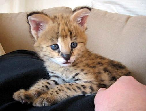 For those who pinned the picture of an African serval cat, I found the original site where it was posted : The Serval Conservation Organization. Here is another wonderful picture of a baby African Serval kitten. The web site has lots of information and pictures about this beautiful animal who is supposed to be the ancester of the now domesticated Savannah cat.