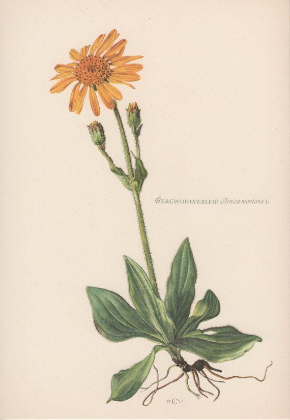 Botanical Print Arnica montana Leopard's by AntiquePrintGarden
