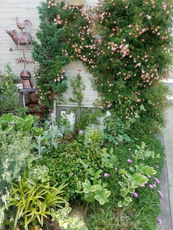 『一重薔薇 咲いてきました➰ バレリーナでは、無いですよ』Fumiemamaさんが投稿した『お庭のアーチ』コンテスト,みどりのある暮らし,Garden,寄せ植え,植物,つるバラ,ナチュラルガーデン,薔薇のある暮らし♡,植中毒,宿根,可愛い,ガーデニング,バラが好き,花のある暮らし,バラに囲まれて,錆び好き,薔薇♪,GARDEN雑貨,壁誘引,薔薇の花の画像です。 (2017月5月31日)