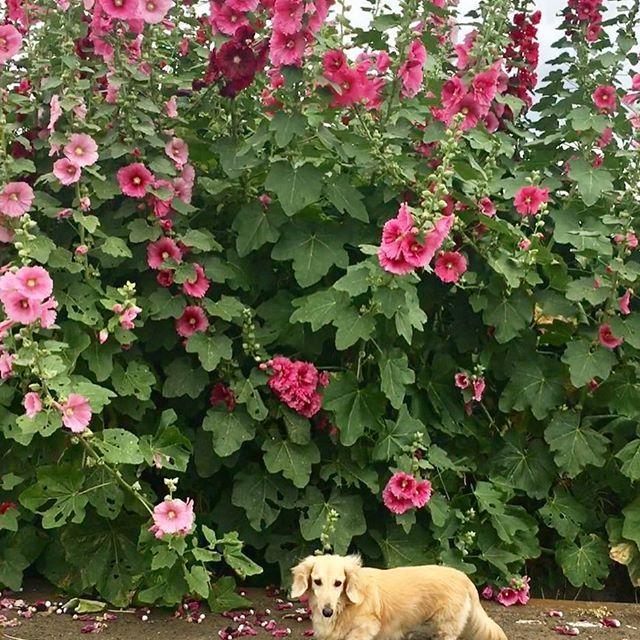 。 『通りすがりの』 。 。 農道の散歩道 道端に咲いてる 大きな花 。 。 君の名は…? 。 。 。 #Mダックス#ミニチュアダックスフント #ミニチュアダックス#犬好き#犬ラブ #犬#愛犬#シニア犬#癒し#わんこ#love  #犬好きな人と繋がりたい#里親 #dog#perro #miniature dachshund #perro salchicha #おさんぽ#お散歩 #道端#立派な#野花#草花 #君の名は