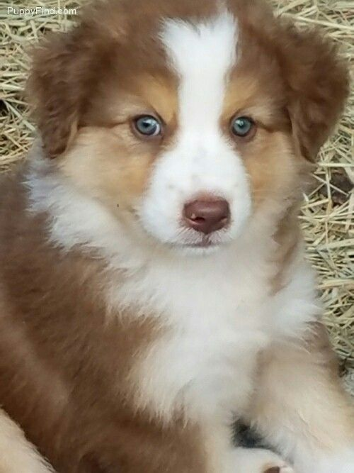 red tri australian shepherd puppy