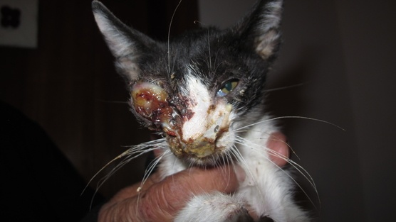 http://www.change.org/petitions/kuwait-punish-those-who-abuse-the-animals-in-kuwait       Punish those who abuse the animals in Kuwait                          This street cat's eye was poked intentionally by one of the cleaners in a building. A neighbor witnessed it and went to the police station but nothing was done. There is no animal rights organization or any authority in Kuwait that protects the animals from those who harm or want to harm them.