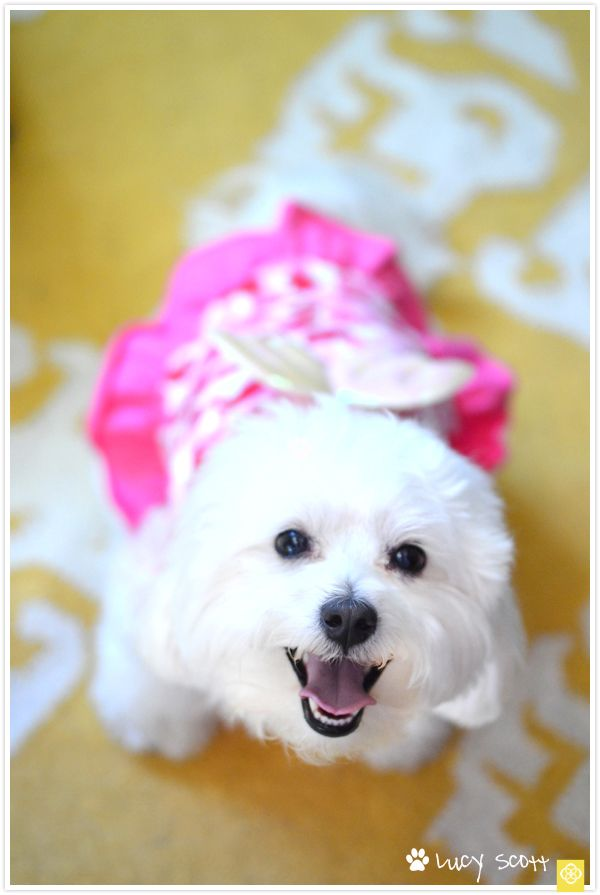 Lucy Scott's Puppy Pow Wow. OMG this looks like my Grandma's Maltese, Spring. she loves wearing dresses, her favorite toy her whole life is a squeaky purse, and she barks and runs away if you try to take her dog dresses off.
