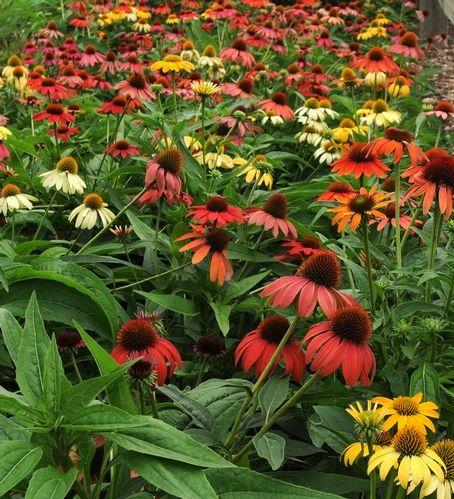 New Garden Ideas 2014 105 best echinacea images on pinterest | flower gardening, flowers