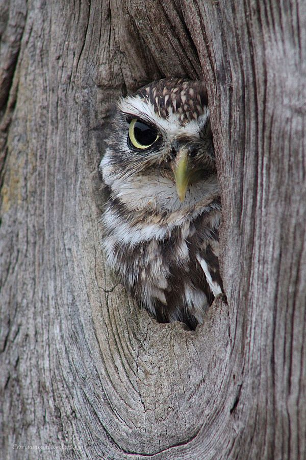 ~~Little Owl by Corinna Hardware~~                                                                                                                                                                                 More