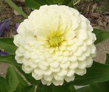 Zinnia Seeds ★ White Wedding ★ Dahlia-Shaped Blooms ★ Heat Tolerant ★ 20+ Seeds