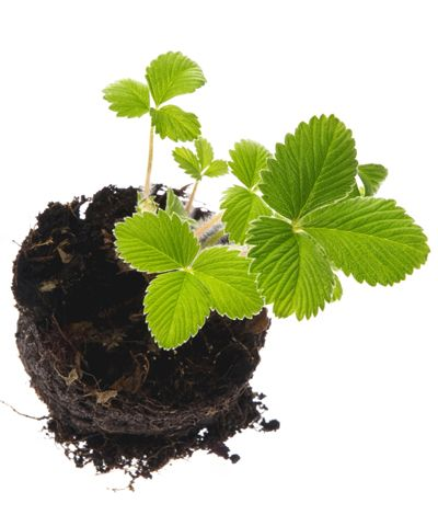 Fall planted strawberries can be harvested next spring more info here fall gardening - Plant strawberries spring ...